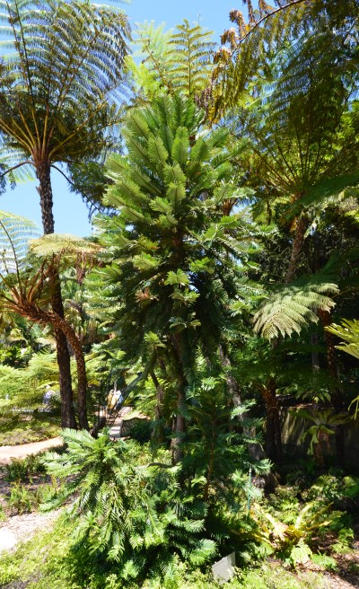Australian Flora: Pines and Palms