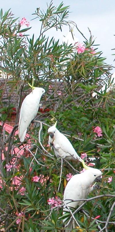 Crested Cockatoo