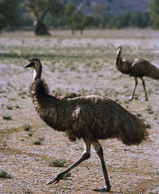 Emus are amongst the amazing fauna found here.