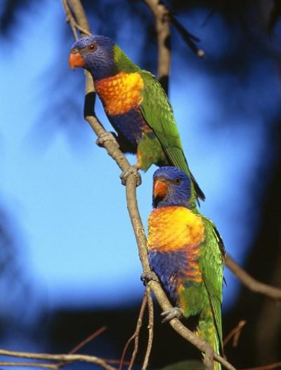 Distinctive Colours of the Rainbow Lorrikeet