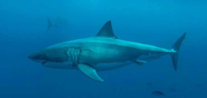 Diving amongst the sharks with Calypso Dive Charters: Photo Greg Snell Tourism Australia.