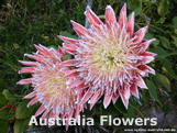 Flowers Found in Australia