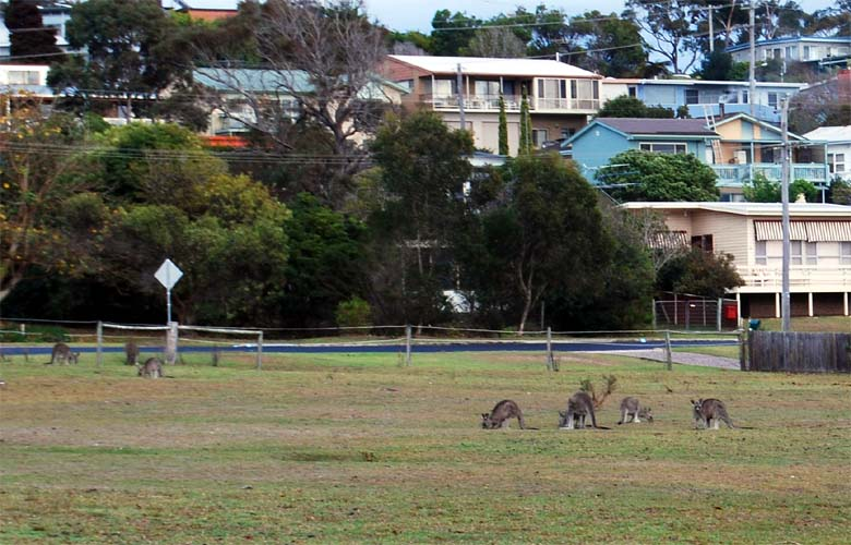 These kangaroos are feeding on grasses found in town.
