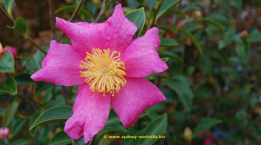 Pambula Beach Flower