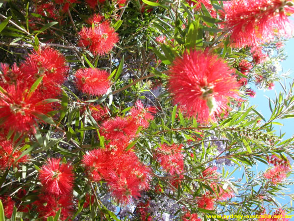 Myrtaceae - Prickly Bottlebrush