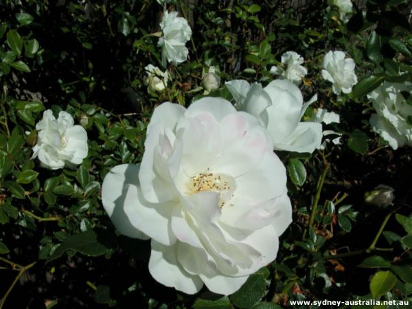 White Begonias in a Sydney Garden