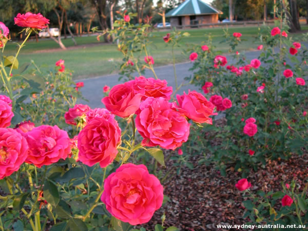 Floral Blossoms - Roses. Life may not be a Bed of Roses but they sure look pretty. The flowers in the picture are found near the Nepean River