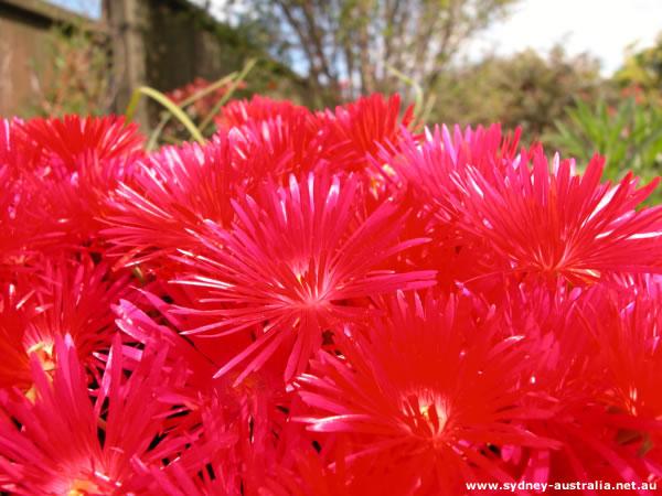 Australian Flowers from the Garden