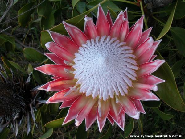 Australian Flowers from NSW