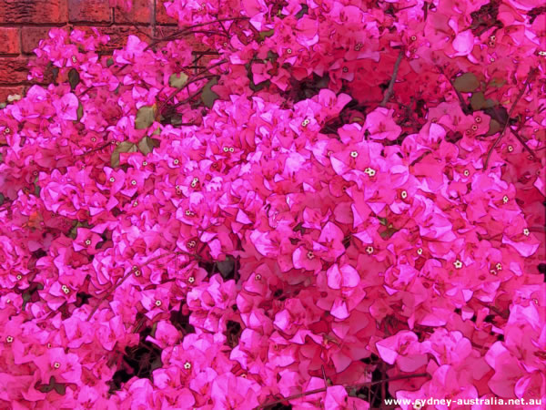 Photos of Australia - Park and Garden.Flowers