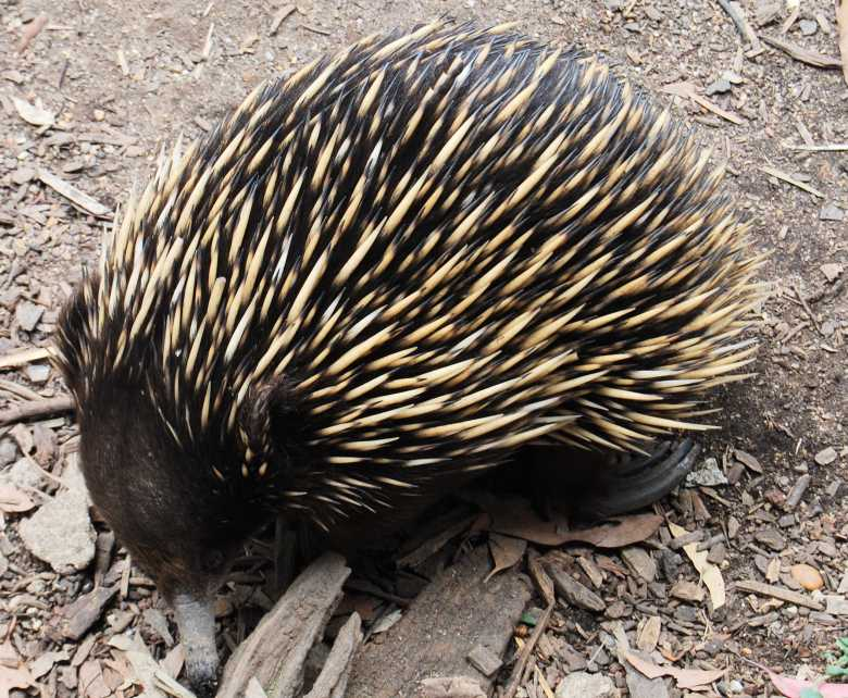 An Echidna, native to Australia