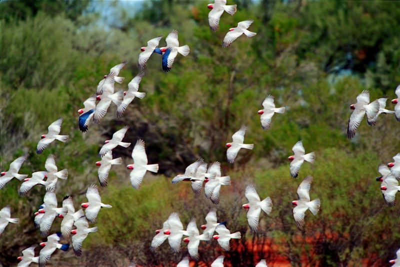 Corellas in Flight.