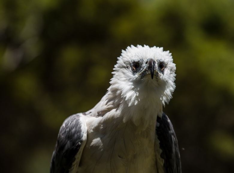 White Bellied Sea Eagle, Kangaroo Island - Raptor Domain features Kangaroo Island Birds of Prey