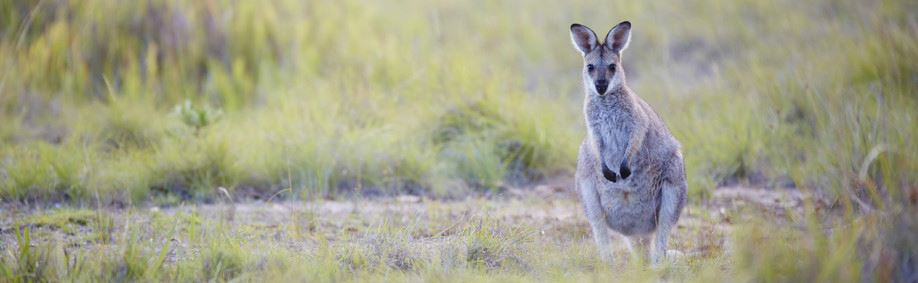 Australian National Parks are great places to see Wildlife (Girraween National Park, QLD)