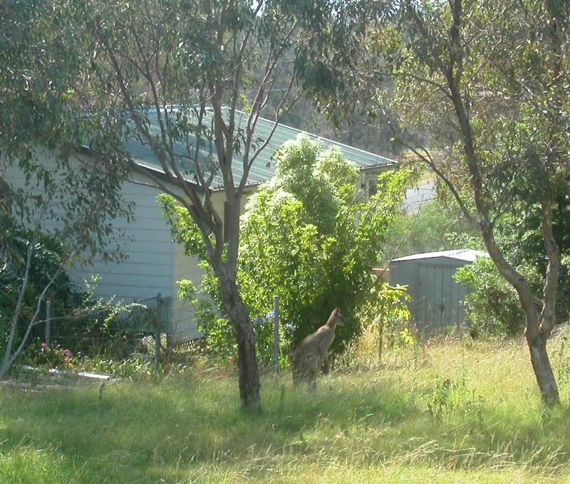 Kangaroo having a Feed in a Neighbor's Backyard, Ears  alert to the Photographer's Presence.