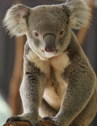 Lone Pine Koala Sanctuary (Tourism Australia)