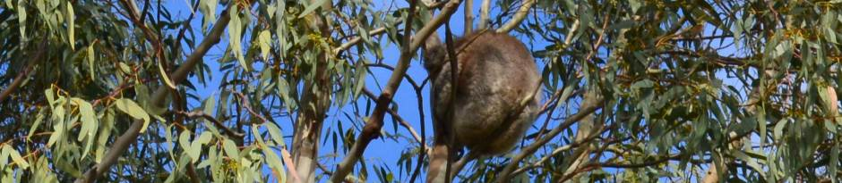 A close-up Zoom of a Koala in the Wild, one should not get too close as to Stress the Animal