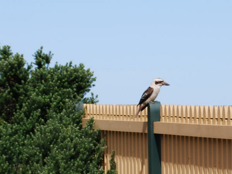 The Kookaburra hunts small birds and animals, as well as fish