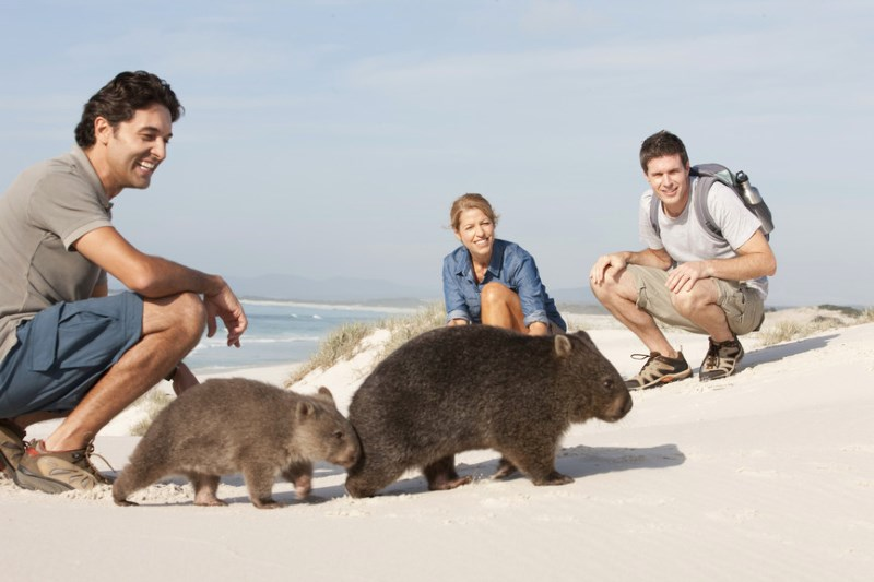 Wombats can be found in Tasmania and various parts of continental Australia.