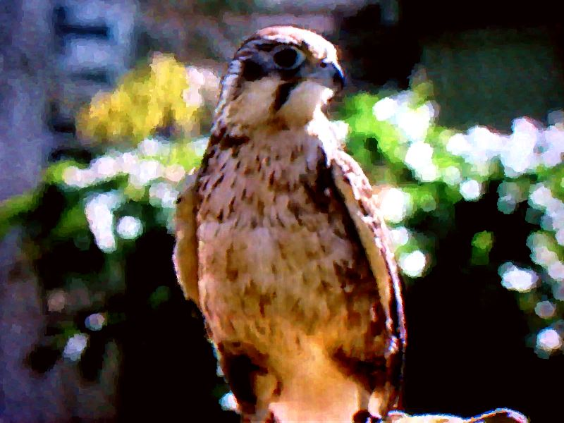 The Little Falcon hunts small birds and animals