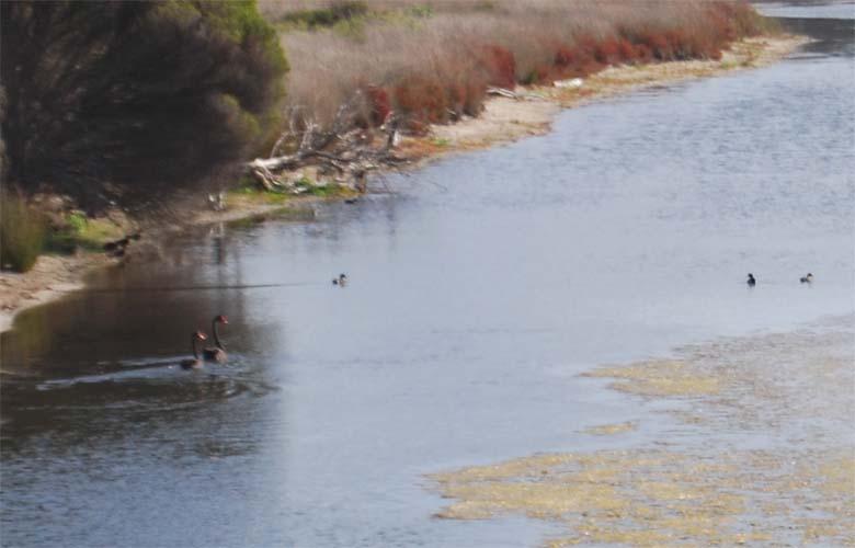 Black Swans and Ducklings.