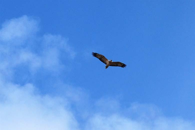 Sea Eagle on the Prowl Bournda NP.