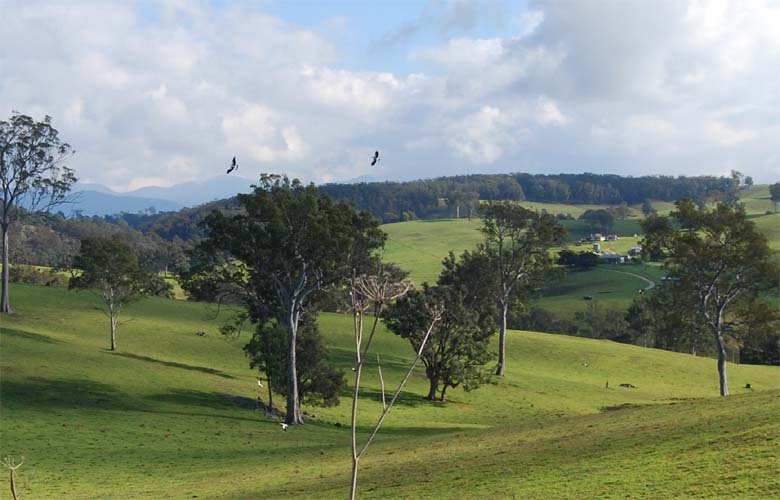 Magpies in flight - Bega Valley NSW.