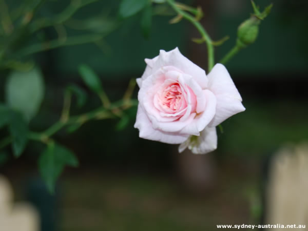 Solitary Pink Rose, Growing on its Own