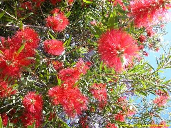 Myrtaceae - Prickly Bottlebrush